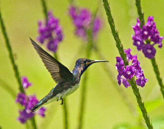 La Anita Rainforest Ranch: Humming Bird at Arenal Observatory Lodge