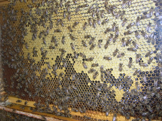 Радовлица, Словения: Bees!
