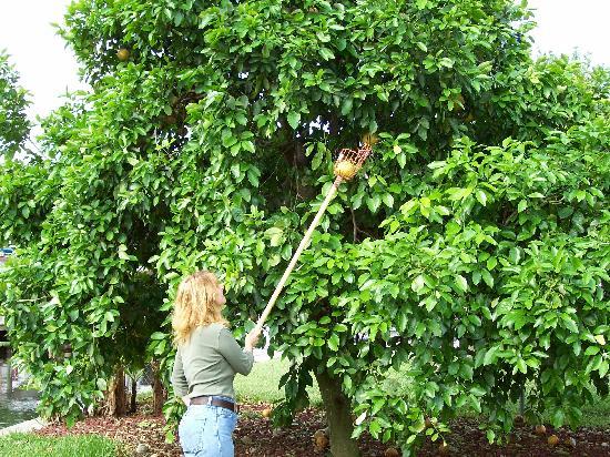 Rod 'n' Nod: picking grapefruit at Rod n Nod