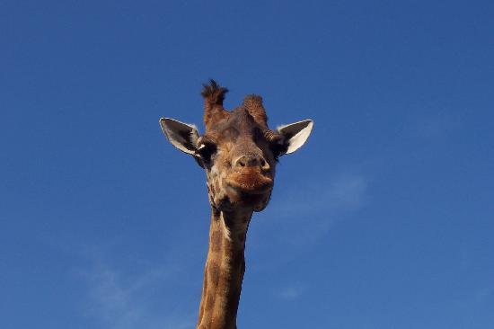 Valbrembo, Italy: giraffa che mi guarda!!!