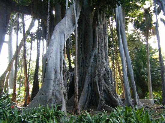 Hotel Botanico & The Oriental Spa Garden: Botanical Gardens - Fig Tree