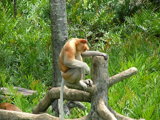 Labuk Bay Proboscis Monkey Sanctuary: Bignose!