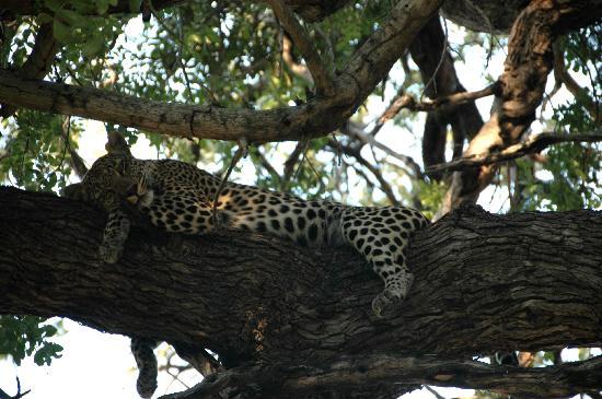Kings Camp: relazing leopard