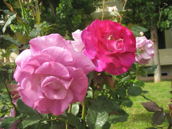 Lefka Apartments: just some of the thousands of  roses