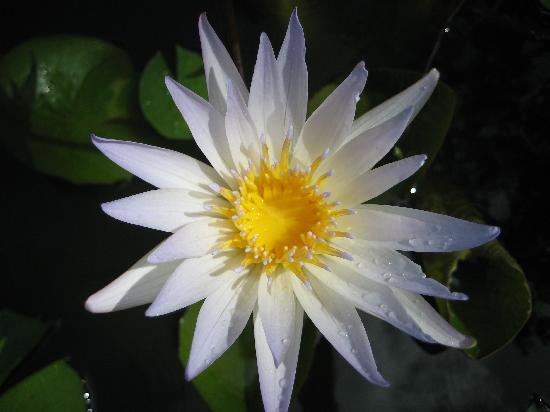 Nagy-Kajmán: Flower at the Park