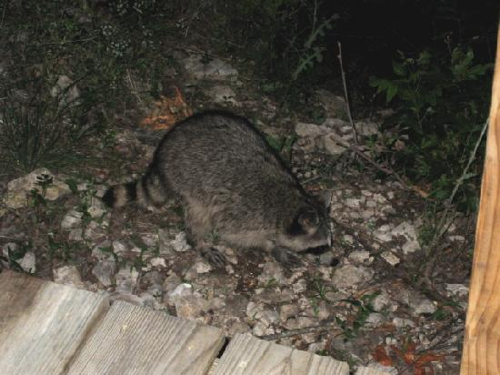 Paluxy River Bed Cabins : Barnie the Cabin Grounds Raccoon