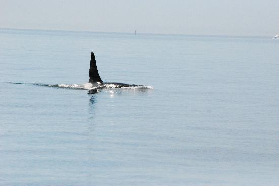 Port Townsend, WA: the orca whales