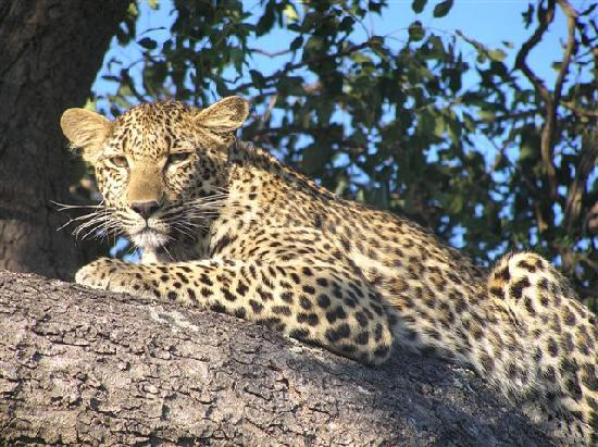 Leopard Hills Private Game Reserve, Afrique du Sud : Leopard in tree in Sabi Sand SA