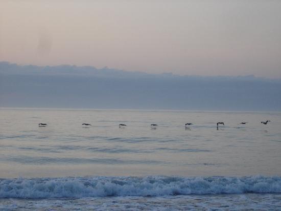 Pawleys Island, Carolina del Sur: Gliding Pelicans