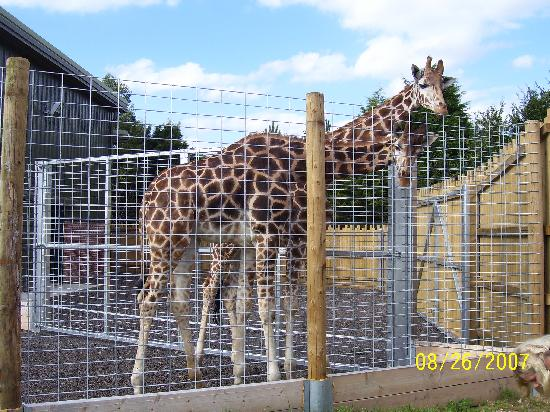 Giraffes at Banham Zoo!