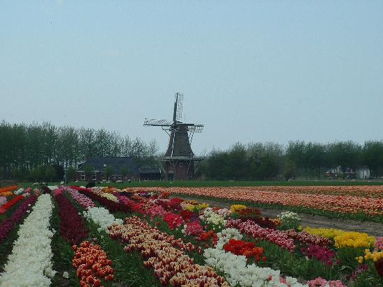 Groningen, Holland: Beautiful Tulip Fields with Windmill in the Background