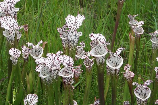 Montrose Hideaway Bed and Breakfast Retreat: Pitcher plants in the nearby Pitcher Plant Bog at Week's Bay