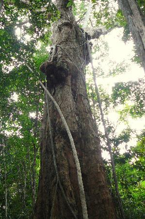 Trilha do Visgueiro: Huge Tree Rises Above Forest Canopy