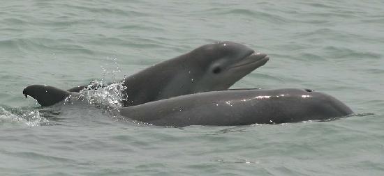 Telchac Puerto, Meksika: Dolphins in Telchac, Yucatan, Mexico