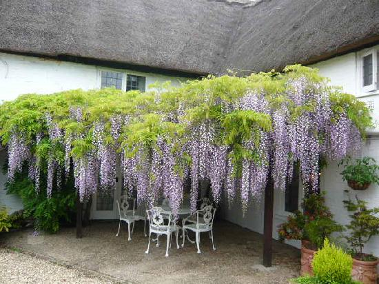 Burgate Farmhouse: The wisteria in all its glory - May 2008