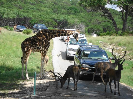 Foothills Safari Camp at Fossil Rim: Feeding Giraffe & Deer