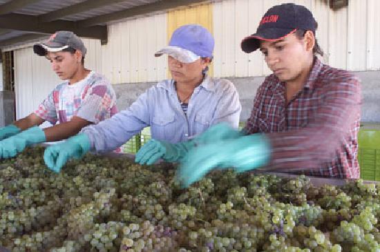 Pulenta Estate Winery: grape selection