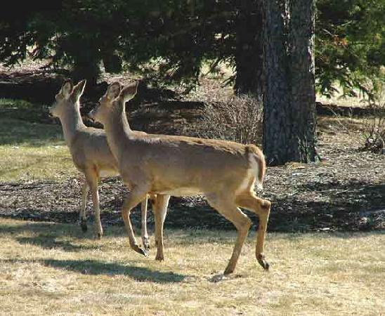 Fish Creek House Bed and Breakfast: deer in front yard