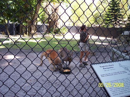 Nápoles, Flórida: kangaroo feeding