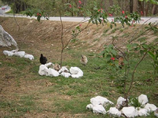 Giardini di Papagayo Hotel: wild chickens