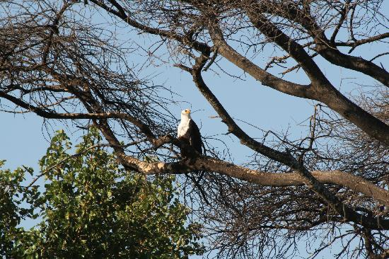 Okavango Delta, Botswana: Fish eagle