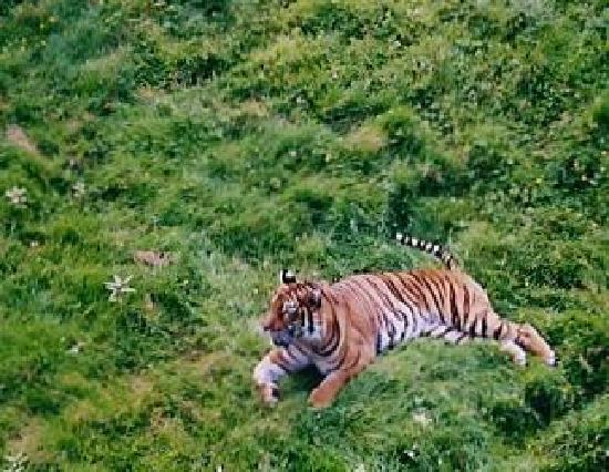 Thoiry, France: Tiger viewed from above