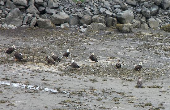 Glen Lyon Inn: Eagles seen from our balcony at low tide.