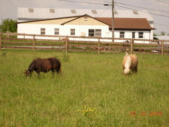 Bird-In-Hand Family Inn: some of the mini horses you can feed and pet with an Amish farm in the background