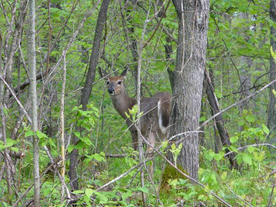 Mille Lacs Kathio State Park: baby dear near camp