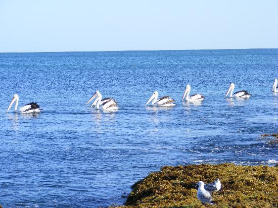 Mandurah, Australia: pelicans at Halls Head Beach