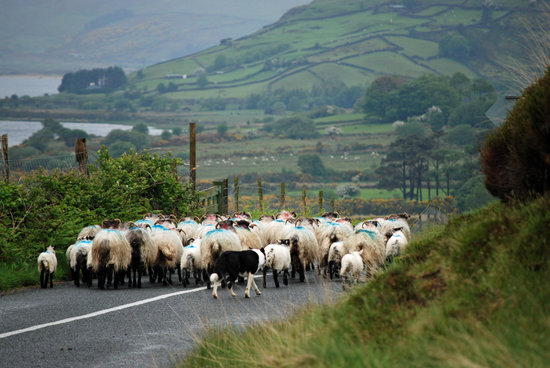 Condado de Galway, Irlanda: herding sheep near Lough Nafooey