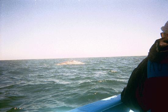 Ecoturismo Kuyima S.P.R. de R.L.: Las ballenas.