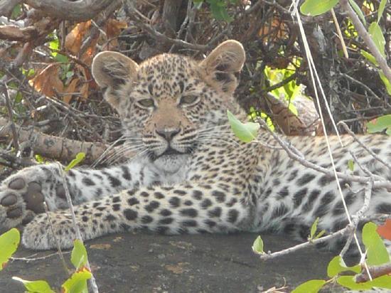 Gomo Gomo Game Lodge: Baby leopard