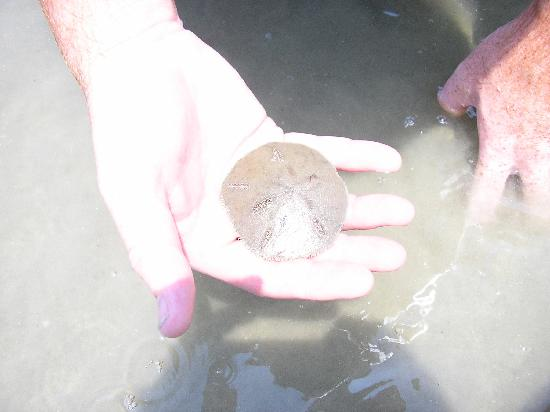 South Beach : We found lots of sand dollars, a horseshoe crab, and a school of stingrays!