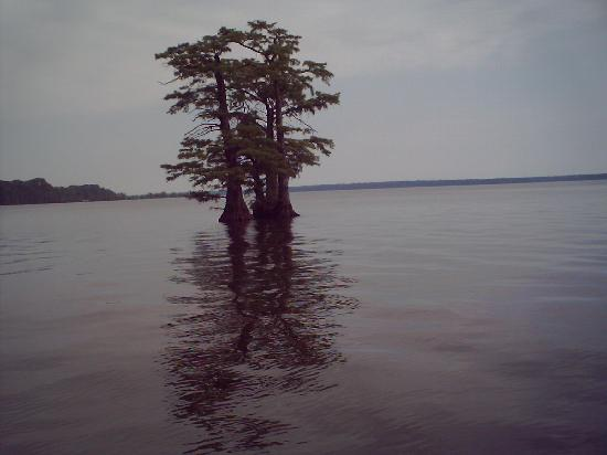 Tiptonville, TN: cypress trees  in Lake