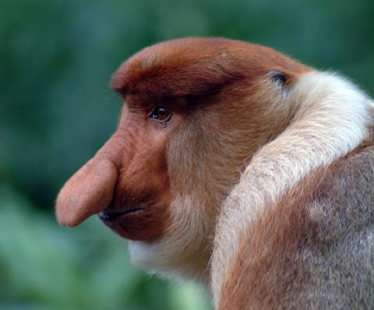 Labuk Bay Proboscis Monkey Sanctuary: The Big Nose of Borneo