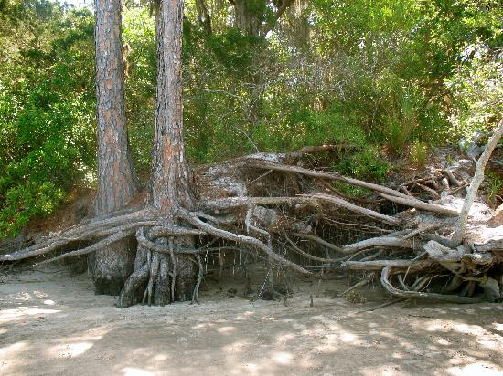 Little Talbot Island State Park: tangled roots on the shore of the creek