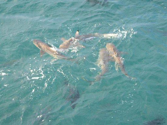 Green Island Resort: 4 reef sharks at fis feeding
