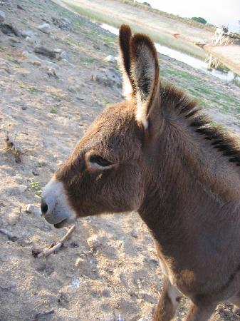 Paniolo Ranch Bed & Breakfast Spa: Donkeys love to go along on your morning walk.