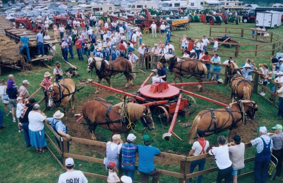 Horses thresh wheat at the Southeast Old Threshers Reunion in Denton, North Carolina July 1-5, '