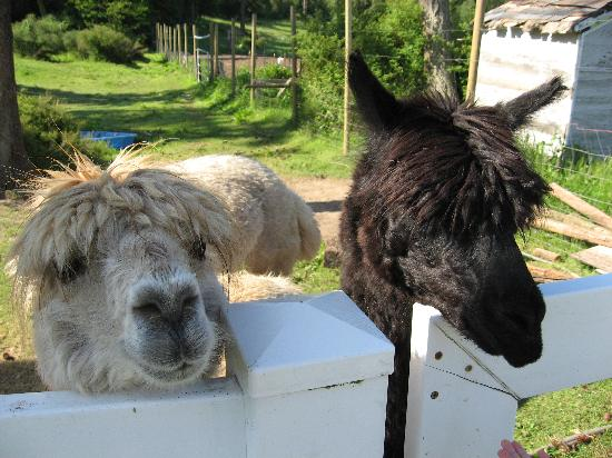 States Inn & Ranch: Alpaca wanting more carrots