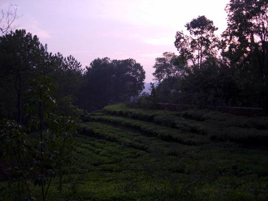Ri Kynjai: Tea garden in the property itself