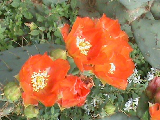 Hotel Desiree Sirmione: cactus flowers in  hotel garden