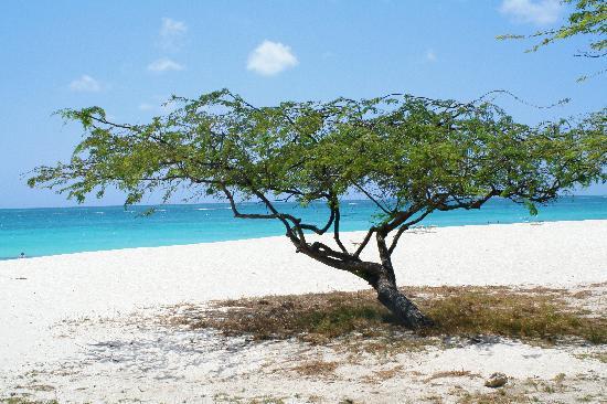 Divi divi tree at the beach picture of la quinta beach resort palm eagle beach tripadvisor - Dive e divi ...