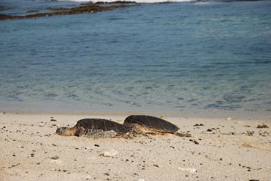 Four Seasons Resort Hualalai: turtles
