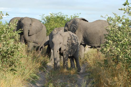 Wilderness Safaris Savuti Camp : Elephants all of a sudden surrounding our vehicle