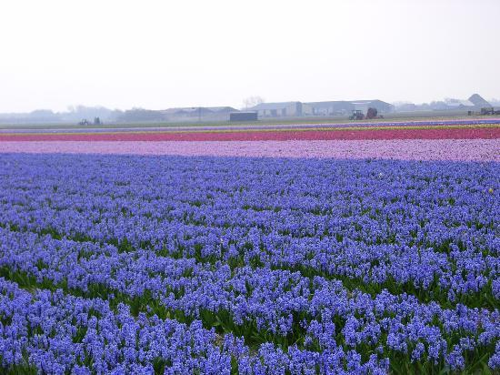 Hotel Boschlust: Hyacinth Fields in the North