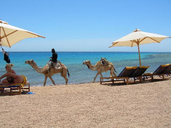 فندق لي ميريديان ذهب: Beach complete with camels