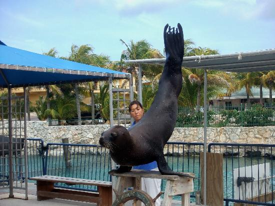 Sea Lion Show At Aquarium With Resort In Background