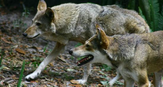 Tampa's Lowry Park Zoo: The male and female red wolves